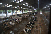 Overview of the main cow shed where the cows which are milking both pregnant and not pregnant spend their time. The stalls are filled with sand to make their time lying down as comfortable as possible. Wildon Grange Dairy Farm, Coxwold, North Yorkshire, UK. Owned and run by the Banks family, dairy farming here is a scientific business, where nothing is left to chance. From the breeding, nutrition and health of their closed stock of Holstein Friesian cows, through to the end product, the team here work tirelessly, around to clock to ensure content and healthy animals, and excellent quality milk.
