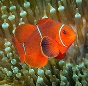 Spinecheek anemonefish (Premnas biaculeatus), or the maroon clownfish, is a species of anemonefish found in the Indo-Pacific from western Indonesia to Taiwan and the Great Barrier Reef.