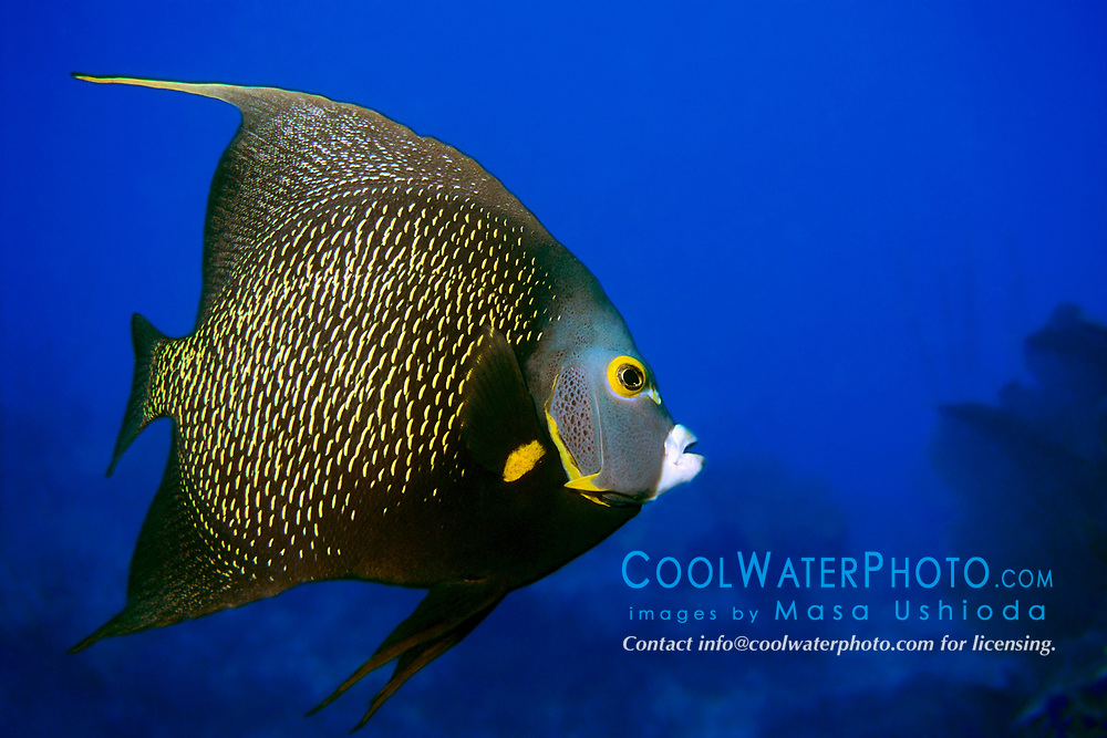 French angelfish, Pomacanthus paru, Islamorada, Florida Keys National Marine Sanctuary, Atlantic Ocean