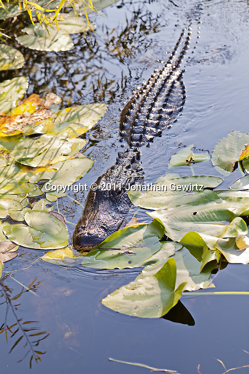 An American alligator (Alligator mississippiensis) swims in a canal in Everglades National Park. WATERMARKS WILL NOT APPEAR ON PRINTS OR LICENSED IMAGES.