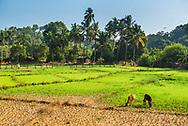 Rice paddy field landscape, Goa, India