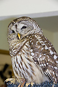 A injured Barred Owl sits and eyes the crowd at the American Bald Eagle Foundation restoration center in Haines, Alaska.