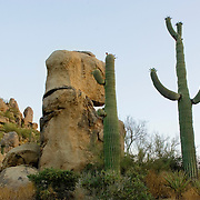 The Sonoran desert landscape would not be complete without the large green saguaro cactus, native to only Arizona, the Mexican state of Sonora and small parts of Baja California.  It's arms can take up to 75 years to develop. The Saguaro cactus bloom is the state flower of Arizona.
