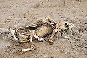 Israel, Golan Heights, The carcase of a dead cow,