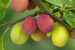 Plum 'Victoria' - Prunus domestica