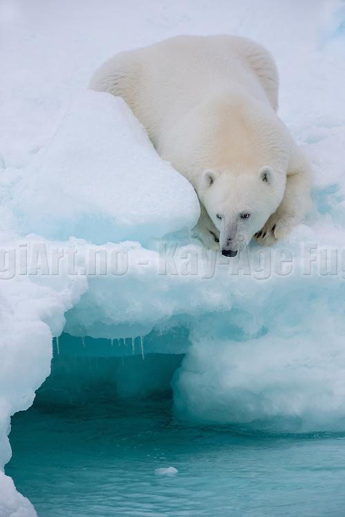 Polarbear lies on a glacier and looks down in the sea   Isbjørn ligger på en isbre og titter ned i sjøen.