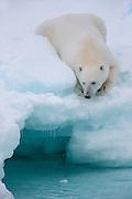 Polarbear lies on a glacier and looks down in the sea | Isbjørn ligger på en isbre og titter ned i sjøen.