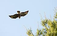 Common Buzzard - Buteo buteo