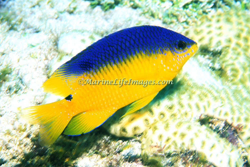 Cocoa Damselfish, young, inhabit reefs, especially fore reefs with living coral, in Tropical West Atlantic; picture taken Belize.