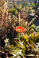 Red-orange Zinnia flower in a garden. WATERMARKS WILL NOT APPEAR ON PRINTS OR LICENSED IMAGES.