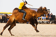 At a local camel fair, a competition to mount and ride a wild Bactrian camel, Gobi Desert, Mongolia