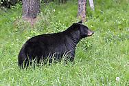 Black Bear - Ursus americanus - adult female