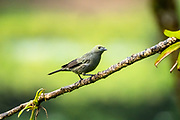 Palm tanager (Thraupis palmarum) perched on a branch. This passerine bird, which usually nests in a palm tree, reaches a size of around 20 centimetres in length