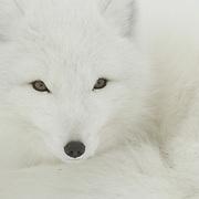Arctic Fox (Vulpes lagopus) along the ice edge of Hudson Bay, Cape Churchill, near Churchill, Manitoba, Canada.