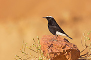 white-crowned wheatear, or white-crowned black wheatear (Oenanthe leucopyga) is a small passerine bird in the Old World flycatcher, Muscicapidae family. Photographed in Israel in November