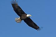 Bald Eagle, Haliaeetus leucocephalus, flying, Kenai Peninsula, Homer Spit, Homer, Alaska. Digital original, #2006_0802 ©Robin Brandt