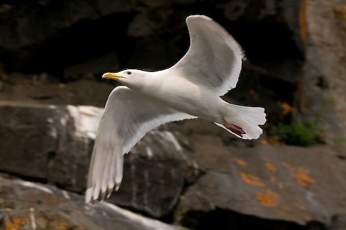 Herring Gull in flight, Elu Inlet, Nunavut, Canada