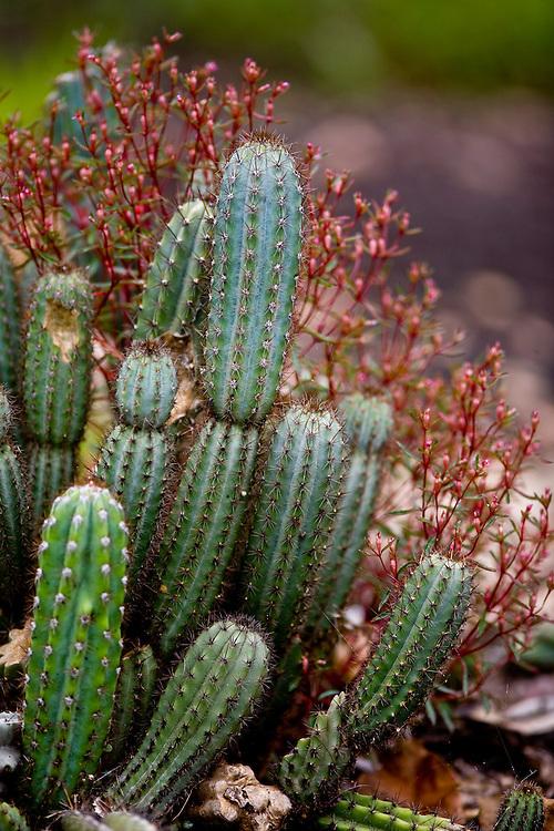 Carajas_PA, Brasil... Floresta Nacional dos Carajas, Para. Na foto detalhe de um cacto...The Carajas National forest , Para. In this photo a cactus...Foto: JOAO MARCOS ROSA / NITRO