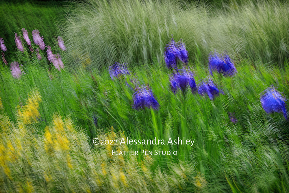 Indigo blue irises in garden setting with mixed perennials and grasses in late spring. In-camera multiple exposure montage.