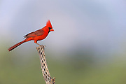 Northern Cardinal (Cardinalis cardinalis) Amado, Arizona<br /> male<br /> animals<br /> wildlife<br /> birds