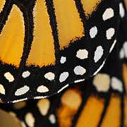 Monarch butterfly development sequence: Close-up detail of wing