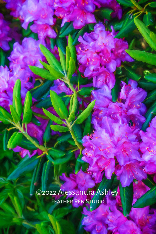 Catawba rhododendron blooming on mountaintop in Asheville's Craggy Gardens.  Blue Ridge Parkway, North Carolina.