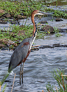 Goliath heron (Ardea goliath) from Kruger NP, South Africa.