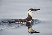 Guillemot swimming in the sea | Lomvi som svømmer i sjøen.