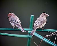 House Finch pair. Image taken with a Nikon D5 camera and 600 mm f/4 VR lens (ISO 1600, 600 mm, f/4, 1/500 sec).
