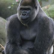 A male Western Lowland Gorilla (Goriilla gorilla gorilla) in a rainforest in West Africa. Captive Animal