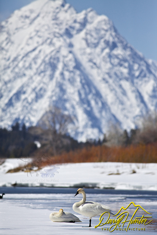 Trumpeter Swans at Oxbow Bend in Grand Teton National Park, Mt. Moran towers above