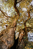 The civilization of the olive trees