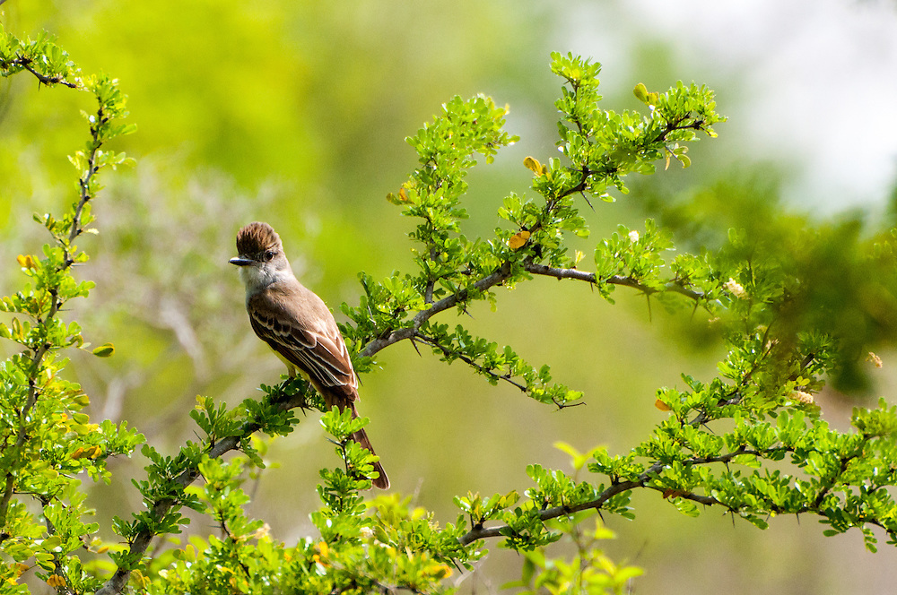 An Ash-throated Flycatcher (Myiarchus cinerascens) at Falcon Dam State Park, Texas.