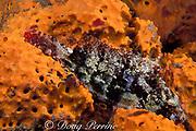 redband parrotfish, Sparisoma aurofrenatum, initial phase, asleep in sponge at night, Dominica ( Caribbean Sea )