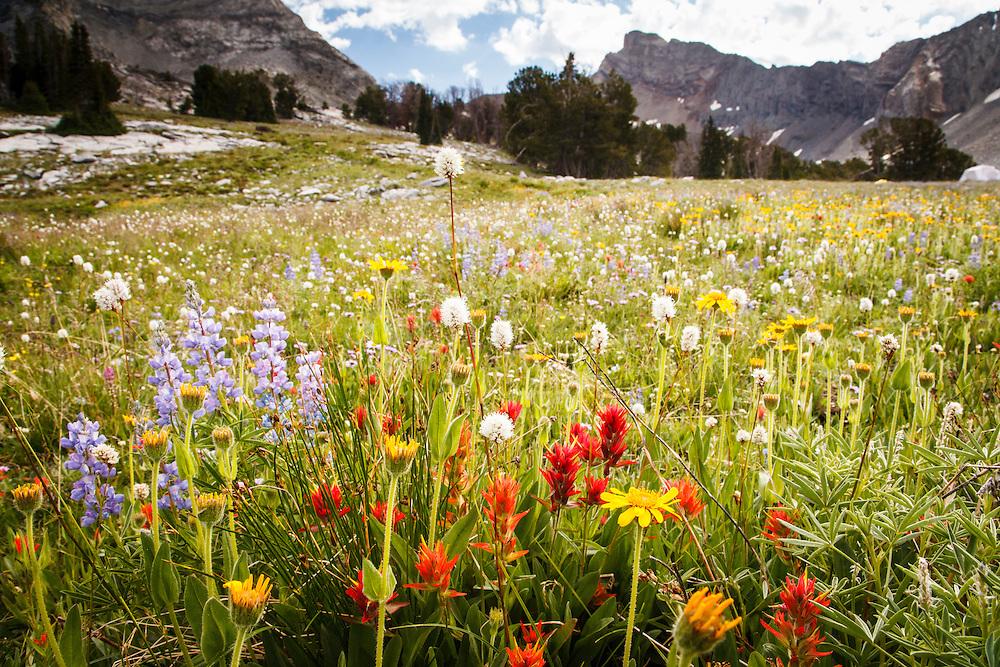 Wildflowers in Hyndman Basin, Pioneer Mountains, Idaho.
