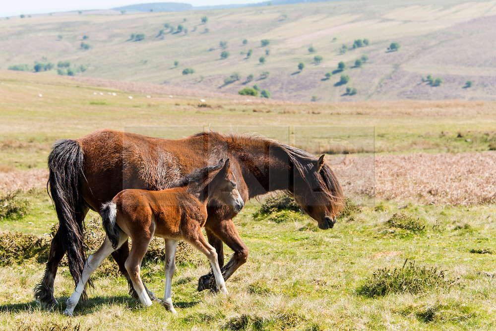 © Licensed to London News Pictures. 6/05/2020. Builth Wells, Powys, Wales, UK. Welsh mountain foals are seen in sunny weather on the Mynydd Epynt moor land near Builth Wells in Powys, Wales, UK. Photo credit: Graham M. Lawrence/LNP