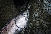 Early season chinook makes his way into the Skeena River system.