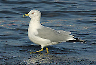 Ring-billed Gull Larus delawarensis L 42-48cm. Of several North American gulls to visit us, this is the most regularly encountered. Recalls a Common Gull but in adults the larger, yellow bill has a bold black subterminal band.
