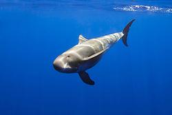 pygmy killer whale, Feresa attenuata, Hawaii, Pacific Ocean