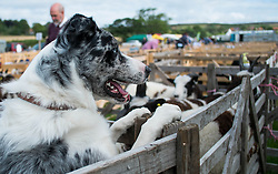 © Licensed to London News Pictures. <br /> 13/08/2014. <br /> <br /> Danby, North Yorkshire, United Kingdom<br /> <br /> A dog keeps a watchful eye over the sheep during the Danby Agricultural Show in North Yorkshire. <br /> <br /> This year is the 154th show which was founded in 1848. It is the oldest agricultural show in the area and offers sheep dog trials, judging of a variety of different animals such as cattle, sheep, ferrets, horses and rabbits along with different classes of horticulture and dairy. <br /> <br /> Photo credit : Ian Forsyth/LNP