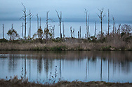 Dead trees in Pointe-aux-Chenes, Louisana, likely impacted by salt water intrusion.