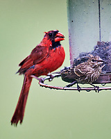 Northern Cardinal, House Finch. Image taken with a Nikon D4 camera and 600 mm f/4 VR lens.