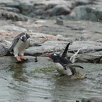 Gentoo Penguins bathe in a pool on Petermann Island, Antarctica.