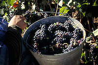 A bucket of grapes being harvested in Anderson Valley, CA.  CD scan from 35mm slide film.. © John Birchard