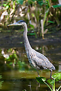 Great Blue Heron, Ardea herodias, at Fakahatchee Strand in the Everglades, Florida, USA