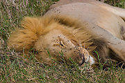 Bugged! Young male lion pestered by flies, Serengeti National Park.