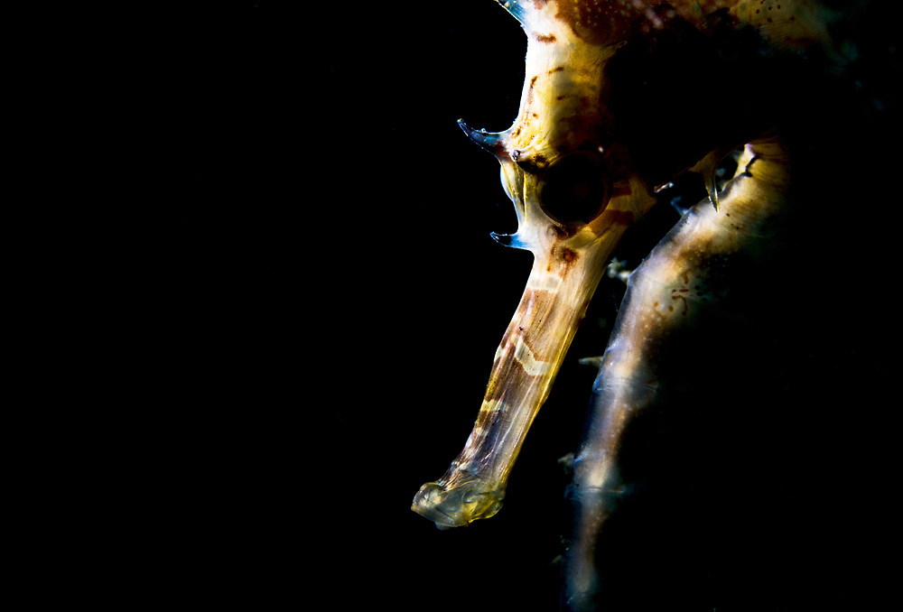 A thorny or spiny seahorse (Hippocampus histrix) portrait made off Anilao, Philippines.