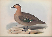 Anas luzonica (Philippine Duck) from Zoologia typica; or, Figures of new and rare animals and birds described in the proceedings, or exhibited in the collections of the Zoological Society of London. By Fraser, Louis. Zoological Society of London. Published London, March 1847