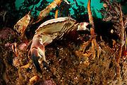 Edible crab (Cancer pagurus) living in the Kelp forest (Laminaria hyperborea), Atlantic Ocean, Strømsholmen, North West Norway | Taschenkrebs (Cancer pagurus), Atlantischer Ozean, Strømsholmen, Nordwestküste von Norwegen