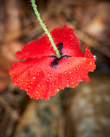 Red Poppy flower.  Image taken with a Leica SL2 camera and 50 mm f/1.4 lens.